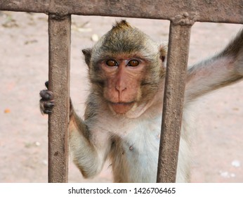 Portrait of Crab Eating Macaque Monkey (Macaca fascicularis) at Monkey Temple (Phra Prang Sam Yot) in Lopburi, Thailand.