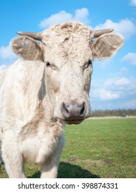 Portrait of a cream-colored cow with horns staring in the meadow on a sunny day in the summer season.
