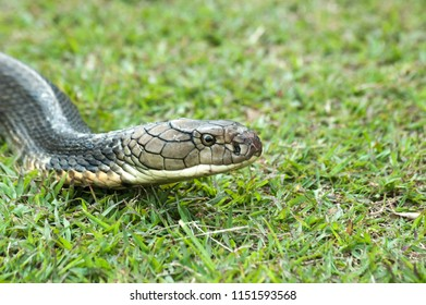 Portrait of creeping up of The King Cobra