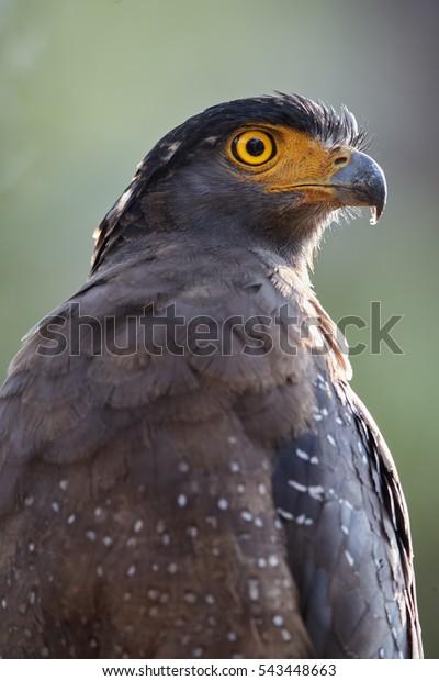 Portrait of Crested serpent eagle,Spilornis cheela. Close up sri lankan eagle, vertical photo, wildlife photography. Wilpattu national park, Sri Lanka. Sri Lanka wildlife.
