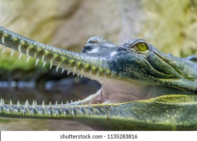 portrait of a crocodile named Gharial with open mouth
