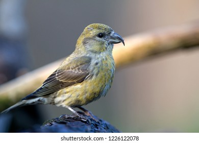 Portrait of a Crossbill, the Netherlands