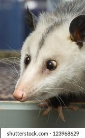 Portrait of a cross-eyed opossum