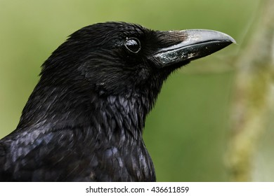 Portrait of a crow.