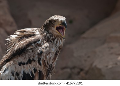 Portrait of Crying eagle