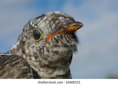Portrait of cuckoo (Cuculus canorus) close up. Cuckoo as counter of years of person. 	The night cuckoo would outcuckoo any day cuckoo (about the possibilities of your wife), carefree maternity symbol