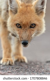 Portrait of culpeo (Lycalopex culpaeus) or Andean fox, at the Siloli desert in Eduardo Avaroa Andean Fauna National Reserve. The culpeo (Lycalopex culpaeus), sometimes known as the zorro culpeo