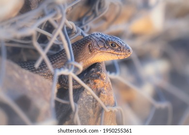 Portrait of a Cunningham's spiny-tailed skink (Egernia cunninghami) peering out from a manmade rock structure