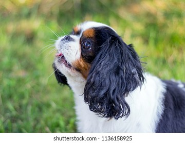 Portrait of cure white black Cavalier King Charles Spaniel on green garden background