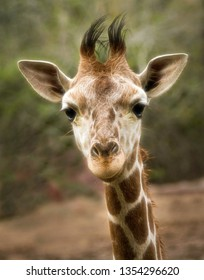Portrait of a Curious Baby Giraffe Looking Right into the Camera