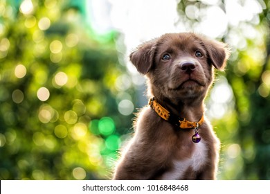 Portrait of curious Brown labrador retriever puppy looking above against sunset foliage bokeh background wth copy space for text. Adorable mammal with collar. 2018 year of dog in Chinese.