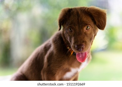Portrait of curious Brown larador retriever puppy dog looking with foliage bokeh background and copy space for text. Adorable mammal pet with collar.