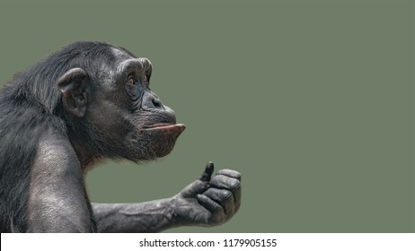 Portrait of curious Chimpanzee like asking a question, at smooth background, extreme closeup, details, paste space