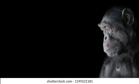Portrait of curious Chimpanzee like asking a question, at black background, details, paste space