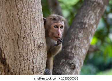 Portrait of a curious endemic Toque Macaque (Macaca sinica) hiding behind a tree at Mihintale, Sri-Lanka