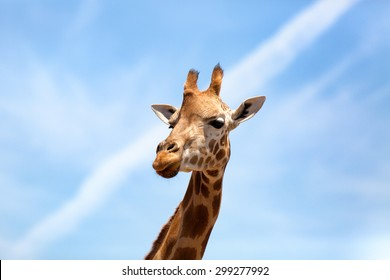Portrait of a curious giraffe (Giraffa camelopardalis) over blue sky with white clouds in wildlife sanctuary. Australia.