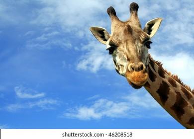 Portrait of a curious giraffe (Giraffa camelopardalis) over blue sky with white clouds in wildlife sanctuary near Toronto, Canada