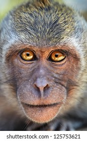 Portrait of curious monkey with bright eyes looking in camera. Crab-eating macaque or the long-tailed macaque (Macaca fascicularis), Bali.