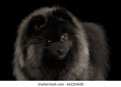 Portrait of Curious Pomeranian Spitz Dog Looking in camera on Isolated Black Background, front view