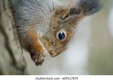 Portrait of a Curious red squirrel on a tree