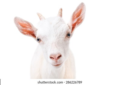 Portrait of a curious young goat closeup isolated on white background