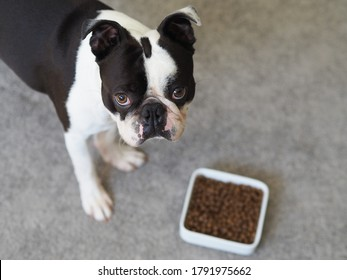 Portrait of cute adorable black and white colored dog with a squished face looking at the dog food. Boston terrier dog with a funny face waiting for the signal to eat his snacks.