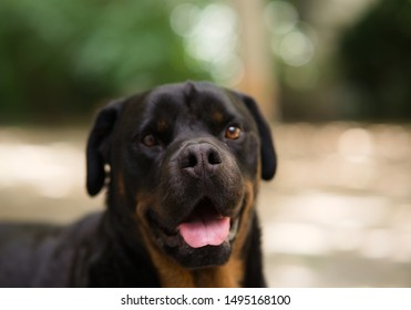 Portrait of a cute adult male rottweiler