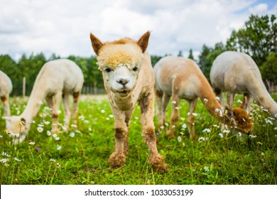 Portrait of a cute alpaca looking up at the camera from the grass while other alpacas are eating and looking down.