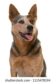 Portrait of a cute australian cattle dog looking up with mouth open on a white background in a vertical image