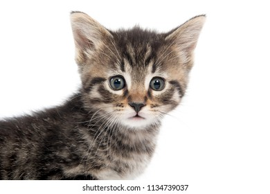 Portrait of cute baby tabby kitten isolated on white background