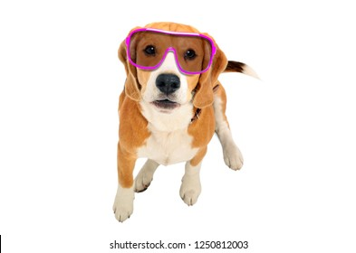 Portrait of a cute Beagle dog in pink sunglasses, top view, isolated on white background