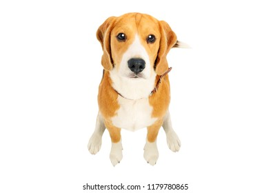Portrait of a cute Beagle dog, top view, isolated on white background