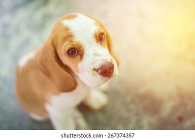 Portrait cute beagle puppy dog looking up. Vintage filter.