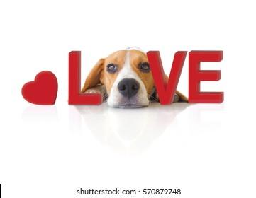 Portrait cute beagle puppy dog with Love concept.