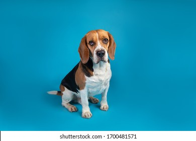 Portrait of a cute beagle sitting and looking at the camera on a blue background