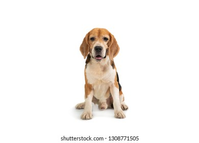 portrait of cute beagle sitting on the floor isolated on white background
