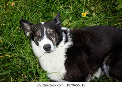 Portrait of the cute beautiful black and white Border Collie dog lying on the grass among flowers and daisies and looking at the camera. Devoted, loyal and loving pet and man's friend.