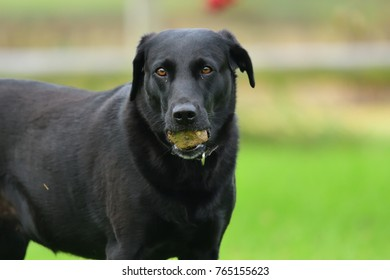Portrait of a cute black Labrador with a stone in it's mouth while looking at the camera