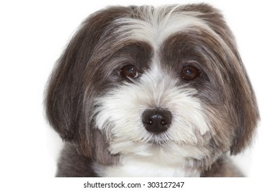 A portrait of a  cute black and white long hair dog.