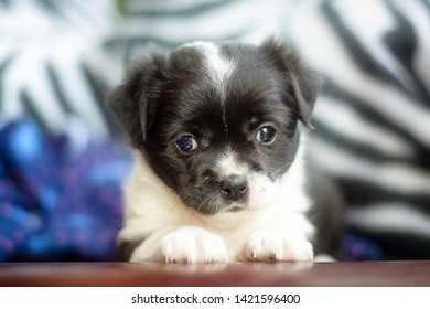 Portrait of a cute black and white mongrel puppy