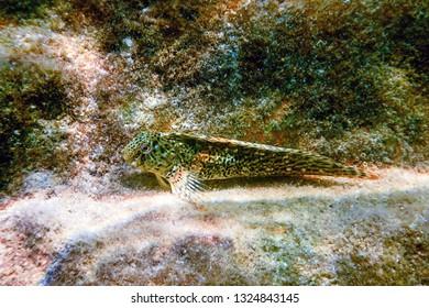 Portrait Of Cute Blenny fish, Close up