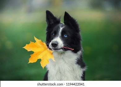 Portrait of cute border collie dog with blue and brown eyes holding autumn yellow leaf in her mouth