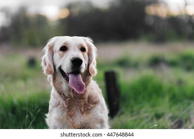 Portrait of cute brown labrador pet looking away with tongue out in evening park.Bokeh