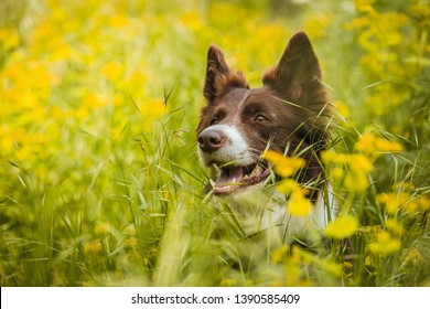 Portrait of cute brown and white border collie dog with mouth open showing teeth hiding in lush green grass with yellow flowers. Sunny summer day in a meadow.