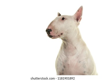 Portrait of a cute bull terrier looking up seen from the side isolated on a white background