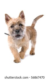 portrait of cute cairn terrier puppy isolated on a white background