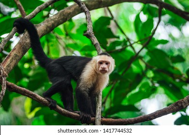Portrait of the cute capuchin ( cebidae ) monkey profile hanging n the tree in the jungle.