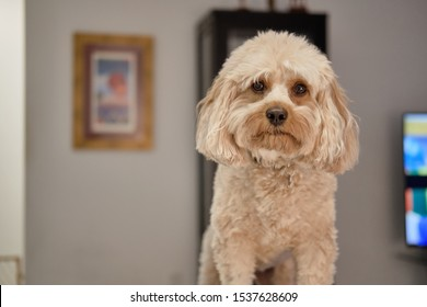 Portrait of Cute Cavapoo with expressive face