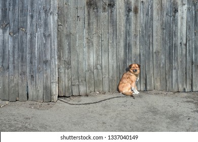 Portrait of cute chained brown dog sitting on old village yard with wooden fence. Non breed dog basking, warming with grey fence on background. Animals on chain. Domestic animals. Watch dog Copy space