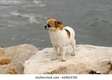 Portrait of cute chihuahua dog in outdoors on the beach.